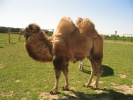 Camel in the yard